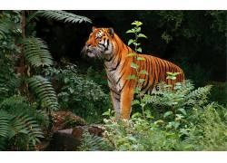 虎,动物,丛林383545