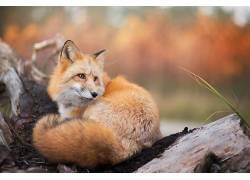 狐狸,动物,性质,野生动物494583