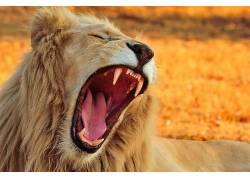 大猫,动物,牙,狮子592210