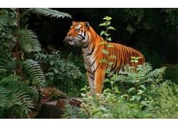 虎,动物,丛林386792