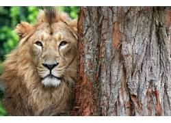 大猫,动物,狮子552427