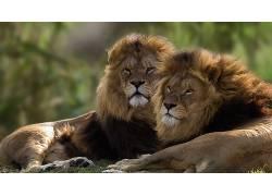 大猫,动物,狮子620619