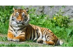虎,动物,大猫,性质495125