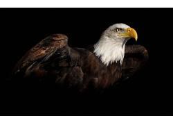 鸟类,动物,黑色的背景,白头鹰378416