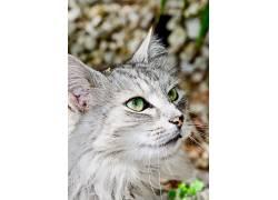 猫,动物,绿眼睛,猫眼644664