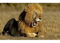 大猫,动物,狮子630585