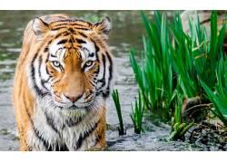 虎,动物,大猫,水,潮湿的身体,植物574639