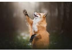 狐狸,动物,野生动物,性质494129
