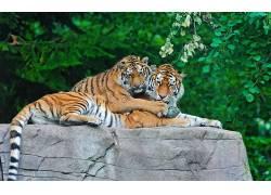 虎,动物,大猫378065