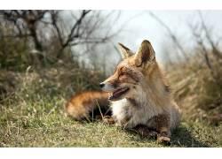 狐狸,动物,野生动物630032