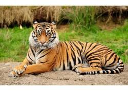 虎,动物,大猫386377