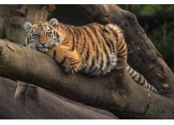 虎,动物,大猫668480