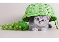 动物,篮,葡萄,猫,水果528134