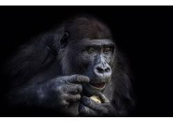动物,类人猿,大猩猩633915