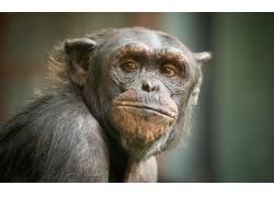 动物,类人猿379502