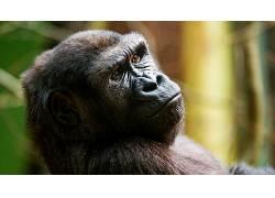 动物,类人猿448697