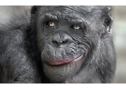 动物,类人猿456442