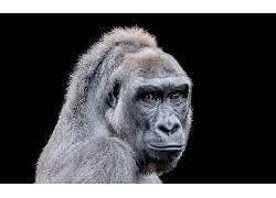 动物,类人猿551311