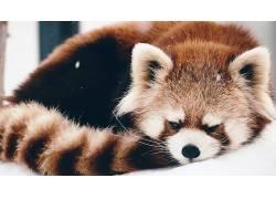 动物,红熊猫,雪377340