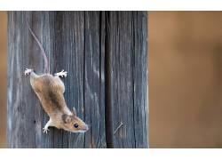 动物,老鼠648908