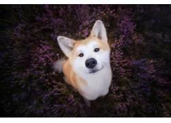 动物,花卉,植物,狗,面对,紫色的花朵492172