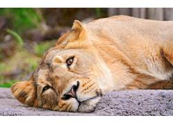 动物,狮子,猫,大猫454105