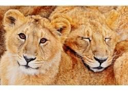 动物,狮子,猫,大猫454106