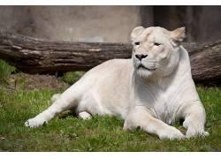 动物,狮子,白狮子,动物园,望着远方623475