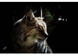 动物,猞猁,特写599338