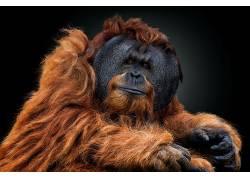 动物,猩猩,类人猿,看着观众,黑发,棕色,黑色背景675798