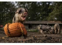 动物,猪,南瓜615898