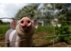动物,猪457745