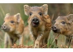 动物,猪621650