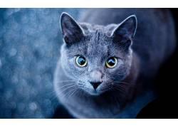 动物,猫,俄罗斯蓝450426