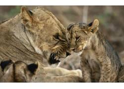 动物,猫,大猫,狮子463253