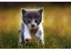 动物,猫,景深,蓝眼睛450765