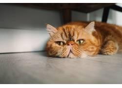 动物,猫,波斯猫,贾斯汀林599347