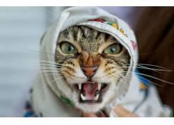动物,猫,獠牙,特写,愤怒661554