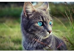 动物,猫,蓝眼睛,肖像,望着远处414113
