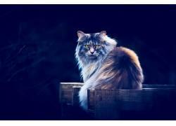 动物,猫,黄眼睛,蓝色背景637160