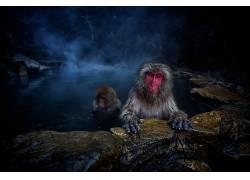 动物,猴,看着观众,游泳的,杰弗里吉尔森,猕猴,日本的Macque598533