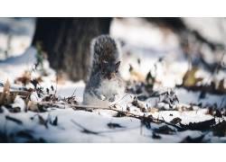 动物,皮埃尔・利达尔,松鼠,雪,景深600888