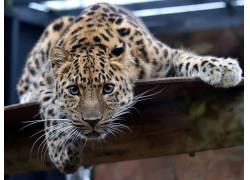动物,看着观众,美洲虎398552