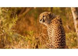 动物,猫的,哺乳动物,猎豹436856