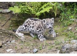 动物,猫的,哺乳动物,雪豹441826