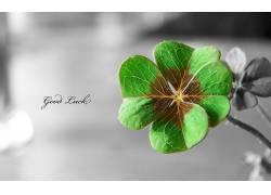 三叶草,选择性着色,树叶,植物,活版印刷64970图片
