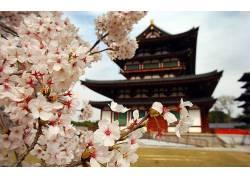 建造,特写,亚洲建筑,樱花,日本,花卉,植物,亚洲24161