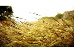 景深,壁纸,宏,植物,小穗,草54327图片