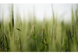 景深,小穗,壁纸,宏,植物,草228059图片