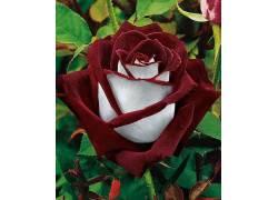 玫瑰,花卉,红,白色,植物67619